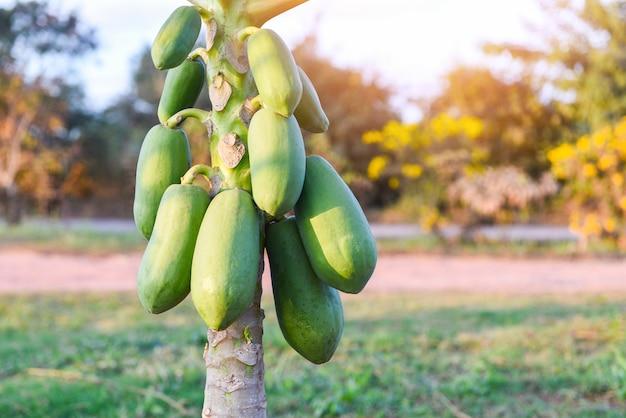 Papaia verde organica sull'albero