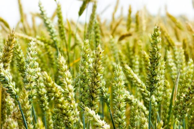 Campo di grano verde biologico