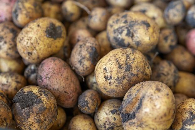 Primo piano del raccolto di patate biologiche patata appena raccolta patata intera fresca biologica