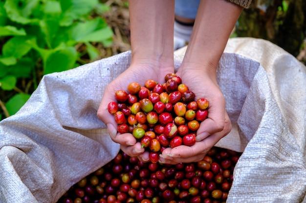 Chicchi di caffè ciliegia crudi organici sulla mano che tiene gli agricoltori e caffè in sacchi. terreni agricoli chiang rai thailandia close up e focos selettivi caffè a portata di mano