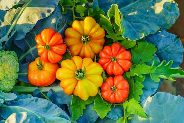 Pomodori biologici dell'orto.