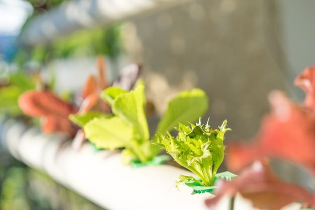 Insalata di verdure biologiche in fattoria per la salute, l'idroponica è una pianta senza suolo.