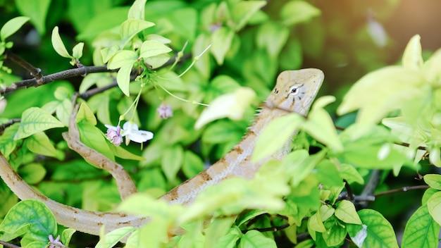 Oriental garden lizard, lucertola giardino orientale o lucertola modificabile sul ramo di albero con sfondo verde naturale