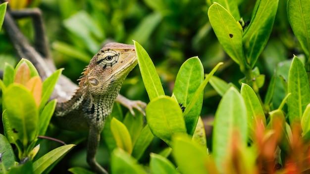 Lucertola orientale del giardino sulle foglie verdi in tailandia.