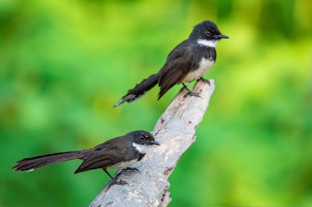 Pettirosso orientale gazza (copsychus saularis) sul ramo. uccello. animali.