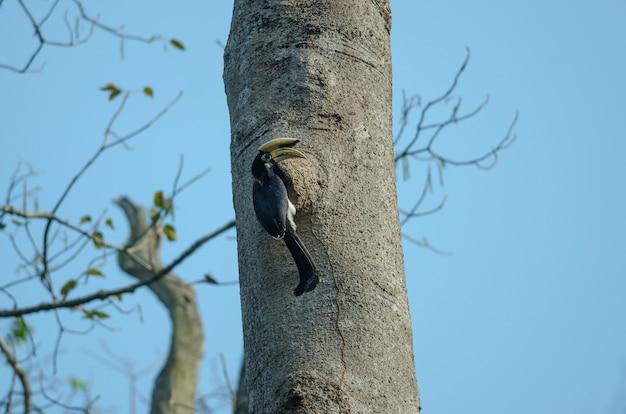 Bucero pezzato orientale sull'albero in natura