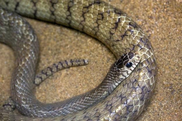 Serpente di ratto orientale sulla sabbia.