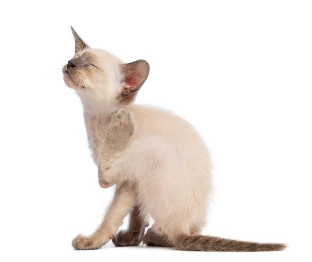 Gattino oriental shorthair, 9 settimane, graffiante