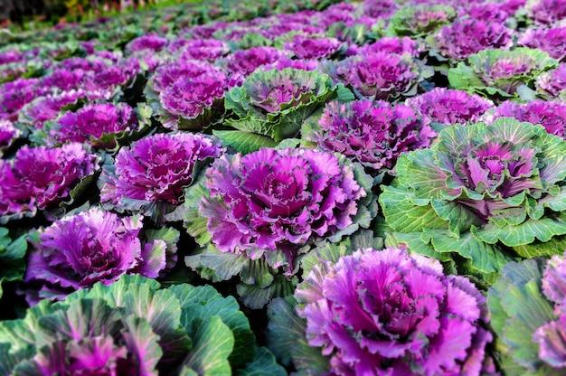 Piante ornamentali di fiori di cavolo brassica.