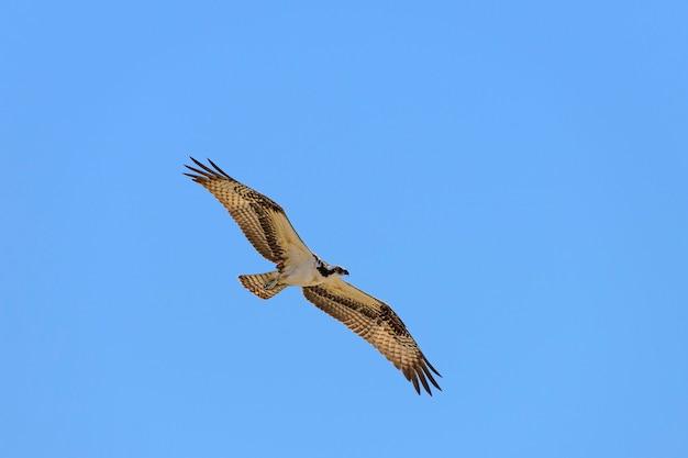 Falco pescatore in volo