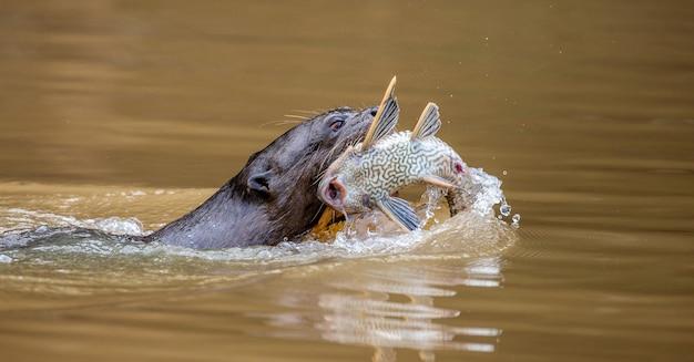 La lontra sta nuotando lungo il fiume con la preda tra i denti