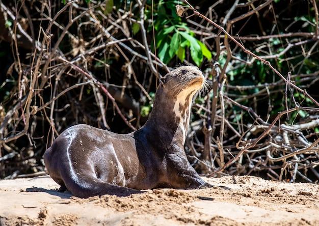 La lontra si trova sulla sabbia sulla riva del fiume