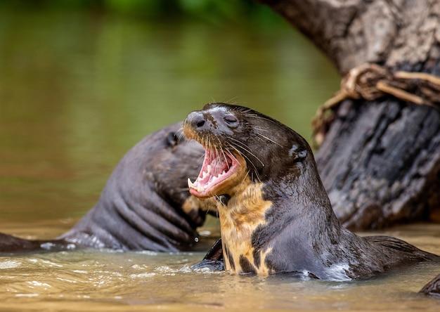 Lontra nel ritratto del fiume