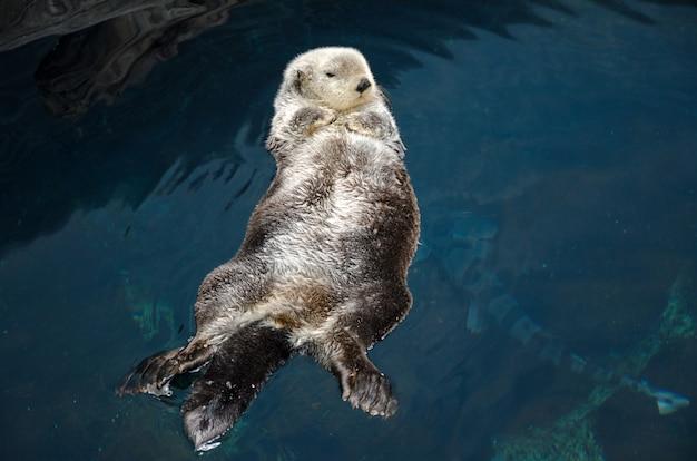 La lontra dorme e galleggia sulla schiena