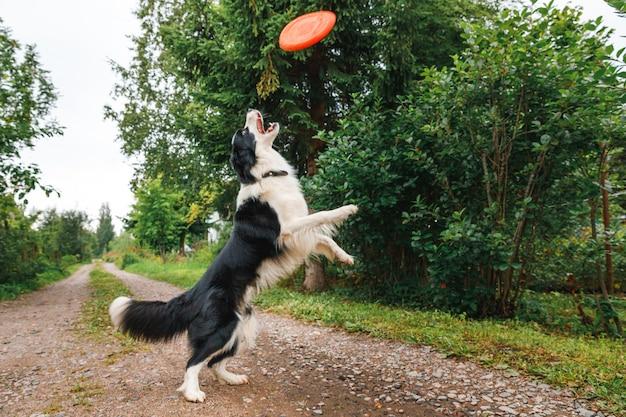 Outdoor ritratto di carino divertente cucciolo di cane border collie cattura giocattolo in aria. cane che gioca con il disco volante. attività sportiva con il cane nel parco esterno.