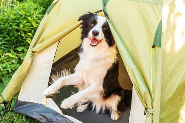 Outdoor ritratto di carino divertente cucciolo di cane border collie seduto all'interno in tenda da campeggio. viaggio di animali domestici, avventura con il cane