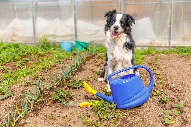 Outdoor ritratto di simpatico cane sorridente border collie con annaffiatoio sullo sfondo del giardino. cucciolo divertente come giardiniere che va a prendere l'annaffiatoio per l'irrigazione. concetto di giardinaggio e agricoltura.