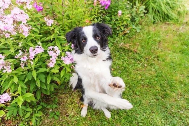 Outdoor ritratto di carino sorridente cucciolo border collie seduto sul fiore di erba