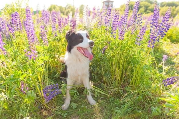 Outdoor ritratto di carino sorridente cucciolo border collie seduto sull'erba, fiore viola tabella