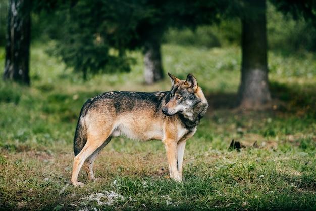 Ritratto di lupo all'aperto