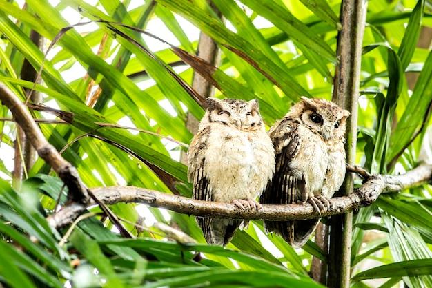 Owl, collared scops owl (otus lettia) guardando in natura