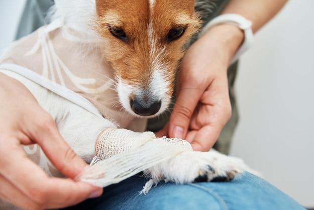 Il proprietario fascia la zampa del cane pet care jack russell terrier con la riabilitazione del catetere dell'animale dopo l'intervento chirurgico