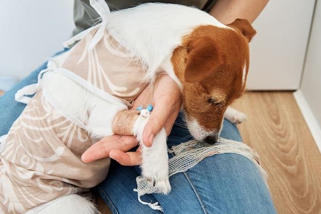 Il proprietario fascia la zampa del cane cura dell'animale domestico jack russell terrier con catetere riabilitazione dell'animale