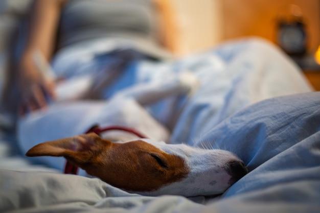 Proprietario e cane in camera da letto. jack russell terrier divertirsi e rilassarsi dopo aver dormito sul letto. amicizia felice del compagno dell'animale domestico a casa. divertente con la donna asiatica di notte.