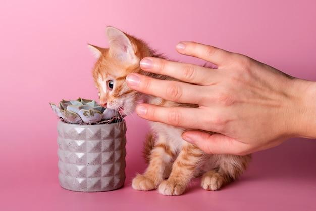 Il proprietario ferma il gattino che morde il cactus. il simpatico gatto allo zenzero mangia piante d'appartamento invece di erbe speciali per gatti. animali domestici e piante, smettete di mangiare piante d'appartamento.