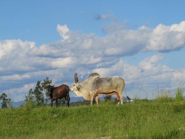 Ox guzera al pascolo