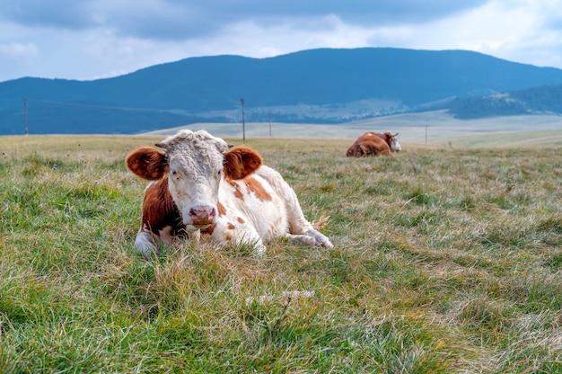 Bue con le corna sul campo erboso in campagna