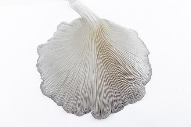 Oyster mushroom (phoenix mushroom, lung oyster mushroom) è una buona scelta di cibo per vegetariani. primo piano di dietro di funghi ostrica con sfondo bianco.
