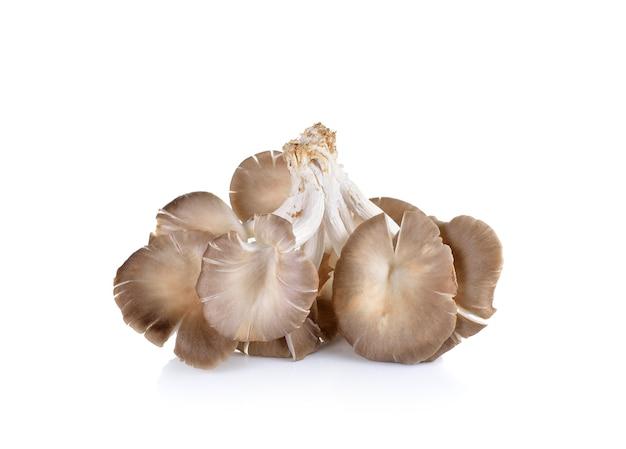 Fungo di ostrica su bianco