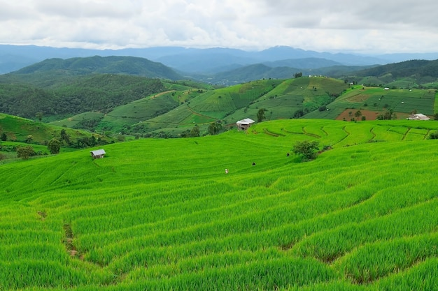Terrazze di riso di pa pong piang nel nord di chiangmai, thailandia.