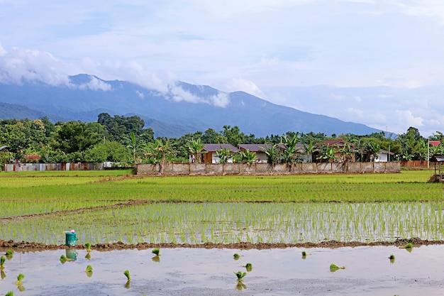 Risaie durante il processo di trapianto di piante di riso, regione settentrionale della thailandia