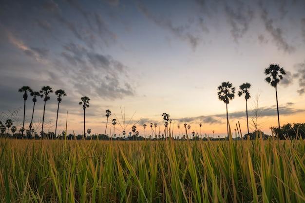 Risone erba contro sfocatura palm tree all'alba prima di sunirse in dongtan sam khok in pathum thani