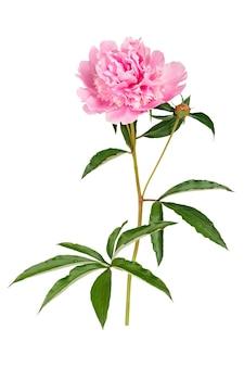 Paeonia lactiflora fiore isolato