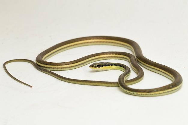 Serpente bronzeback dipinto (dendrelaphis pictus) isolato sulla superficie bianca