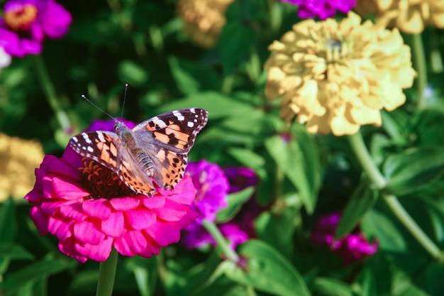 Farfalla dipinta della signora - vanessa cardui che si siede sul fiore della zinnia