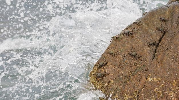 Granchi di pietra dipinta su roccia in spiaggia, grapsus albiliniatus