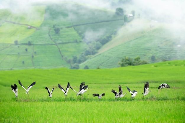Bellissime terrazze di riso dipinte di uccelli di cicogna sulla montagna incredibile punto di riferimento