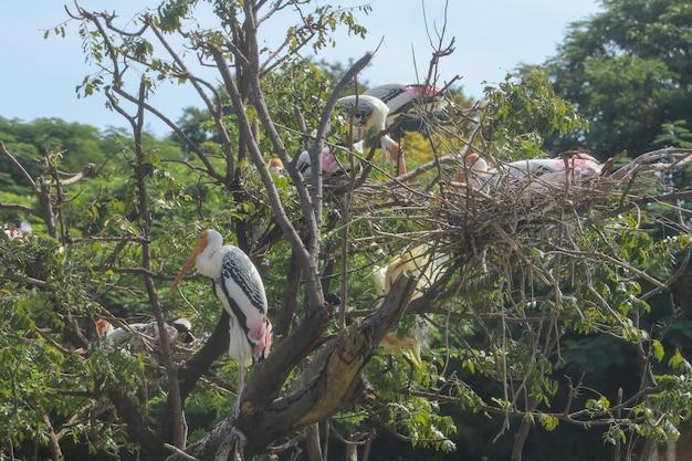 La famiglia dipinta dell'uccello della cicogna (leucocephala di mycteria) sull'albero secco del grande nido