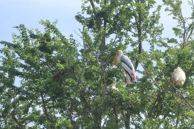 La famiglia dipinta dell'uccello della cicogna (leucocephala di mycteria) sull'albero del nido