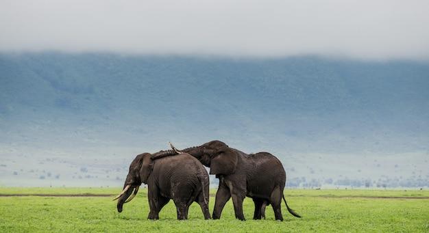 Coppia di elefanti sullo sfondo della nebbia