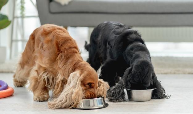 Coppia di cani cocker spaniel inglese mangiare da ciotole nella stanza luminosa a casa