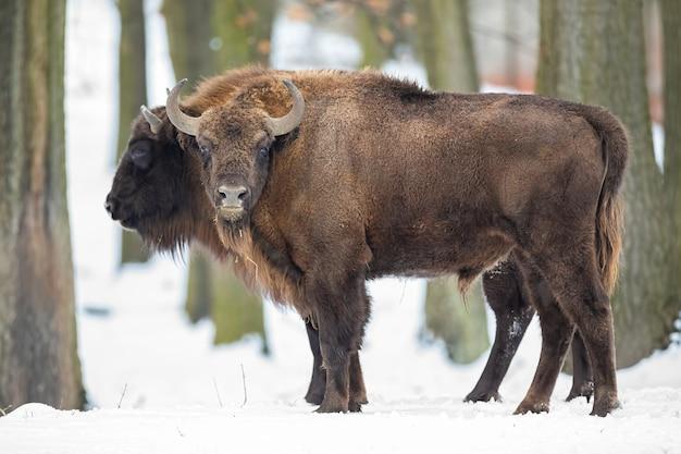 Coppia di bisonti europei al pascolo nel deserto in inverno