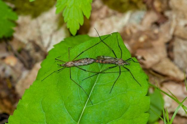 Una coppia di mosche gru giganti che si accoppiano su una foglia