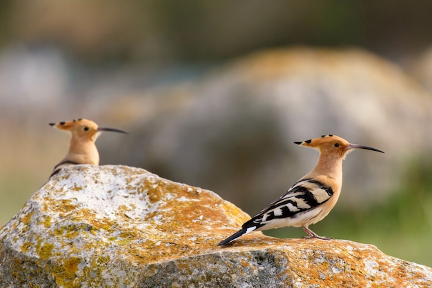Una coppia di upupa (upupa epops) si erge sulla roccia.