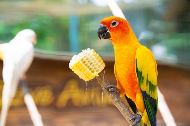 Coppia di piccioncini pappagalli arancio brillante che mangiano mais. osservazione uccelli