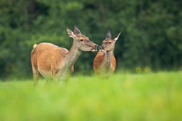 Una coppia di cervi che si toccano con il naso mentre mangiano sul prato erboso